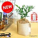 NEW!! 縁結びの木 梛(ナギ) 可愛い麻袋の鉢カバーセッ...