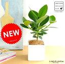 クルシア・ロゼア 白色 キューブ陶器 Sサイズ ホワイト・四角・陶器鉢・鉢植え 肉厚な葉の植物 オトギリソウ クルシアロゼア クルーシャ