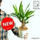 【お試し】 青年の樹 ドラセナ(ユッカ) 4号 白色 プラスチック鉢 観葉植物の代表です♪ ギフトに最適ITEMを♪ リュウゼツラン ドラセナユッカ【父の日ギフト】 敬老の日 ポイント消化 観葉植物