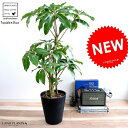 ツピタンサス 黒色 セラアート鉢 8号 鉢植えシェフレラ ピュックレリ 大型 鉢 黒 ブラック 丸 観葉植物 送料無料