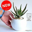 アロエ(フラミンゴ) 白色 丸形 陶器鉢 珍しいアロエの木 薬草 観葉植物 鉢植え 苗 苗木 アロエベラ バルコニスト 敬老の日 ポイント消化 観葉植物