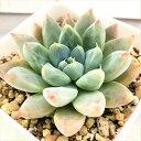 多肉植物 エケベリア アルト 9cmポット 観葉植物 インテリア yos