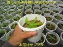 食虫植物 ネペンテス アンプラリア斑点 小 面白植物 観葉植物【面白植物】【自由研究】