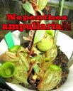 食虫植物 ネペンテス アンプラリア