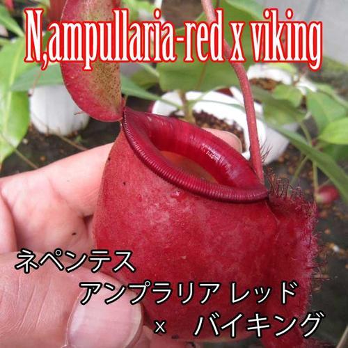 【観葉植物】 食虫植物 ネペンテス アンプラリア レッドxバイキング