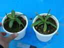 【観葉植物】食虫植物 ネペンテス バービッジアエ 現物