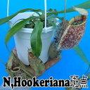 観葉植物 食虫植物 【面白植物】 ネペンテス フーケリアナ 斑点  Nepenthes hookeriana 10P01Oct16