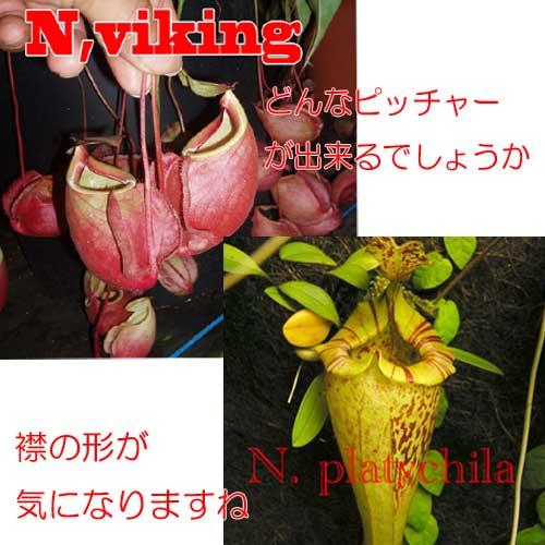 【観葉植物 食虫植物 ネペンテス バイキングxプレティチラ コナン