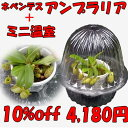 【10%off】 食虫植物 観葉植物 面白植物  ネペンテス アンプラリアとミニ温室セット 【自由研究】