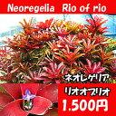 生産温室直送 ネオレゲリア 'リオオブリオ' 【着生植物】【面白植物】 【アナナス】【自由研究】
