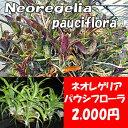 生産温室直送 ネオレゲリア 'パウシフローラ' 【着生植物】【面白植物】【アナナス】【自由研究】