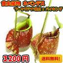 【送料無料】生産温室から直送! 食虫植物 ネペンテス シンジョウ N,shinjou【自由研究】10P01Oct16