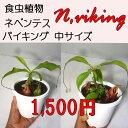 生産温室から直送!食虫植物 ネペンテス バイキング 中サイズ 4.5鉢 Nepenthes Vikng