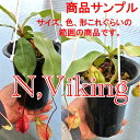 生産温室から直送!食虫植物 ネペンテス バイキング 黒ロングポット植え