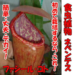 食虫植物 ネペンテス ファシールコト