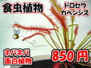 食虫植物 ドロセラカペンシス