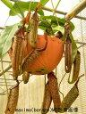 【面白植物】食虫植物 ネペンテス マキシマ   10P18Jun16