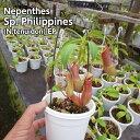 生産温室から直送!食虫植物 ネペンテス フィリピンの不明種