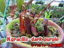 【観葉植物】 面白植物 食虫植物 ネペンテス グラシリス