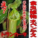 食虫植物 ネペンテス トランカータ