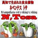 食虫植物 ネペンテス アンプラリア バイキング リベラルファームオリジナル