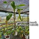 【観葉植物】食虫植物 ネペンテス メナリック