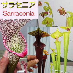 食虫植物 サラセニア