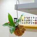 【観葉植物】【面白植物】コウモリラン ビカクシダ ビーチ吊り下げ苔玉【インテリア】
