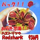 【観葉植物】【食虫植物】 ハエトリソウ レッドシャーク【自由研究】