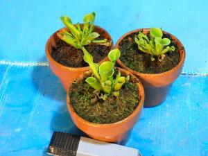 食虫植物 ヘリアンフォラ ミノール heliamphora