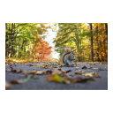 MU3アクセント壁紙 落ち葉とリス ph2032 送料無料 ウォールステッカー 栗鼠 紅葉 林道 秋 壁画 写真 ポスター 絵画 シール