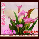 【ひな祭り】【】【春限定】限定入荷花鉢!カラー!ピンク系【送料無料】【あす楽 関東】誕生日 お祝いに!