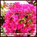 【夏限定】【御中元】【母の日】【smtb-TD】【saitama】!ブーゲンビリア【送料無料】誕生日