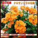 夏の花鉢!鮮やかオレンジ♪クロサンドラ【黄オレンジ】【smt...