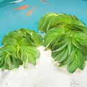 (水草) オオサンショウモ 5株セット 大山椒藻 水草 浮き草 鉢 メダカ アクアリウム