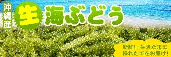 沖縄産生海ぶどう