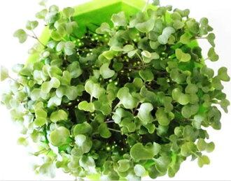 新建專案有機種子花椰菜 (發芽) 大袋 5 dl (325 克)