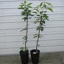 (11月下旬頃出荷予定)さくらんぼの苗木 2品種(佐藤錦+ナポレオン) 2年生 特等苗