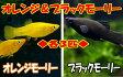 オレンジモーリー&ブラックモーリー各3匹セット!(計6匹)