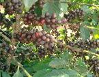 ブラジル セラード 樹上完熟コーヒー【200gパック】
