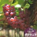 果樹苗 ブドウ 苗木 デラウェア 1年生 接木 6号(18cm) ポット苗 果樹苗木 落葉樹 つる性 ぶどう