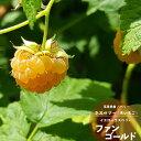 果樹苗 ベリー 苗木 黄実ラズベリー ファンゴールド 4.5号(直径13.5cm) ポット苗 果樹苗木 木イチゴ