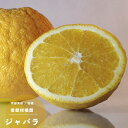 果樹苗 柑橘類 苗木 ジャバラ (じゃばら) 1年生 4.5号(13.5cm) ポット苗 果樹苗木 常緑樹 かんきつ 香酸柑橘