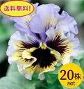 パンジーフリル咲き フリズルシズルイエローブルースワール10.5cmサイズ大ポット20ポットセット*送料無料・他品同梱可・ただし、お届け地域によっては別途差額送料が発生する場合が有ります。パンジー ビオラ すみれ 苗 寄せ植え