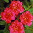 ☆八重咲きポーチュラカ 鮮やかレッド 2株