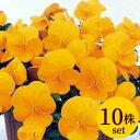 パンジービオラよく咲くスミレ「パイナップル」10株セット