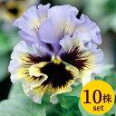 パンジーフリル咲き フリズルシズルイエローブルースワール10.5cmサイズ大ポット10ポットセットパンジー ビオラ すみれ 苗 寄せ植え