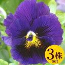 パンジービオラフリル咲きパンジーフリズルシズル「ブルー」3株セット