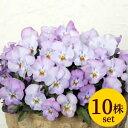 よく咲くスミレライチVer2ポット苗10個セット 花苗 パンジー ビオラ すみれ 苗 寄せ植え ガーデニング 冬