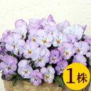パンジービオラよく咲くスミレ「ライチ」1株